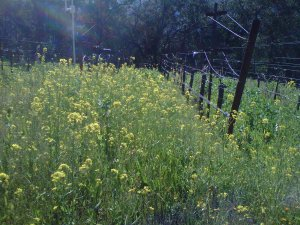 Mustard is one of the seeds we sow to form our cover crop. It can act as a sort of thermometer for the vineyard, blooming earliest in the warmest spots. This picture was taken in the Southwest corner of the Montana Vista block, where sun exposure and the contour of the terrain contrive to make an especially warm spot.