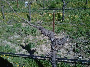 We pruned our vines in January, leaving only the canes that were well positioned for tying.